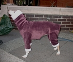 Italian Greyhound Windblock Fleece Plum Hooded Bodysuit