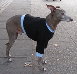 Italian Greyhound Black Sweatshirt with Blue Cuffs