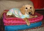 Dachshund Aqua Plaid Jammies