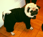Pug, Boston Terrier and French Bulldog Black Fleece Bodysuit
