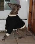 Italian Greyhound Black Sweatshirt with Cream Cuffs