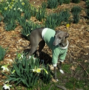Italian Greyhound Grass Green Lightweight Shirt