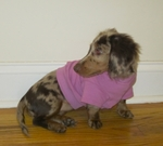 Dachshund Rose Lightweight Shirt