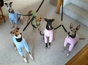 Italian Greyhound Lightweight Shirts