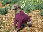 Italian Greyhound Plum Lightweight Shirt