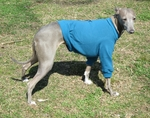 Italian Greyhound Turquoise Lightweight Shirt