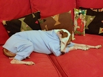 Italian Greyhound Light Blue Romper