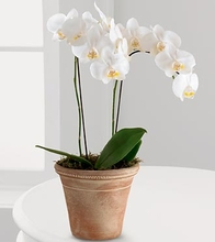 Plant Gifts  Orchid Plants  White Glamour Orchid