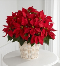 Red Poinsettia Basket (Large)