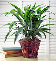 Green Plant 6 inches pot