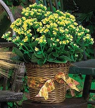 Sympathy Blooming Plants  Yellow Kalanchoe Plant