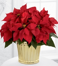 Poinsettia Planter