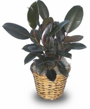rubber plant 6 inches