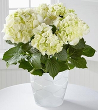 Perfect Clarity Hydrangea Plant