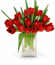 Radiant Red Tulips