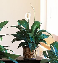 Small Spathiphyllum Plants