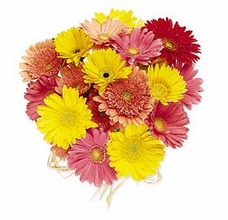 Gerbera Daisies - Mixed Colors one Dozen