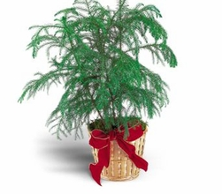 Norfolk Island Pine 6 inches SMALL