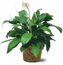 Sympathy Plants Medium Spathiphyllum Plants