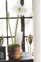 Amaryllis Potted Plant - red