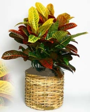 CROTON PLANT