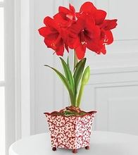Holiday Amaryllis small