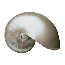 "Chambered Nautilus - Pearlized:  7"" to 8"""