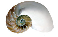 "Sliced Nautilus Shell - Pearlized:  5"" to 6"""