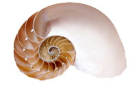 "2/3 cut Sliced Nautilus Shell - Natural:  5"" to 6"""