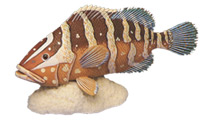 Nassau Grouper Fish Collectible by Nature Crafts