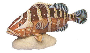 Nassau Grouper Fish Collectible