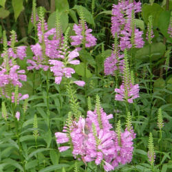Obedient Plant - Physostegia virginiana