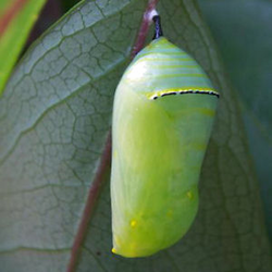 Monarch Butterfly Chrysalises-(Danaus plexippus)