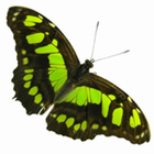 Butterfly Species Information