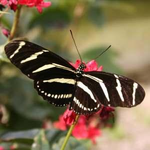 Zebra Long Wing Release Butterflies-(Heliconius charitonius)