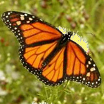 Two Dozen Monarch Butterflies with Accordion Release Box