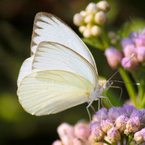 Great Southern White Release Butterflies - Ascia monuste