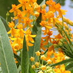 Silky Gold Milkweed - Asclepias curassavica