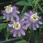 Maypop Passion Flower - Passiflora incarnata