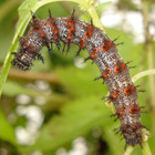 Red Admiral Butterfly Caterpillars-Vanessa atalana