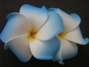 "2 "" Inch Curvy Petals Plumeria Flower Hair Clip White w/ Blue Tips"