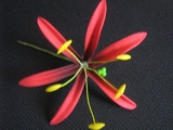 "4.5""  SPIDER LILY STRAIGHT SINGLE PETALS PICK-Red"