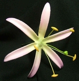 "4.5""  SPIDER LILY STRAIGHT SINGLE PETALS PICK-Pink w/ Yellow Center"