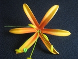 "4.5""  SPIDER LILY STRAIGHT SINGLE PETALS PICK-Orange"