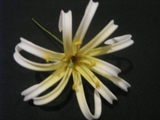 "4""  SPIDER LILY ROLLED DOUBLE PETAL PICK- White w/ Yellow Center"
