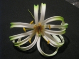 "4""  SPIDER LILY ROLLED DOUBLE PETAL PICK- White w/ Green Tips"