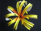 "4""  SPIDER LILY ROLLED DOUBLE PETAL PICK- Yellow w/ Red Center"