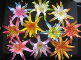 "4.3""  SPIDER LILY DOUBLE PETALS Color Chart"