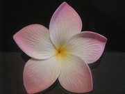 3.5  Inch Pointed Petal Plumeria PLU-B6- White w/ Purple Tips