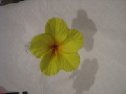 HIBISCUS  FLOWER CLIP SMALL